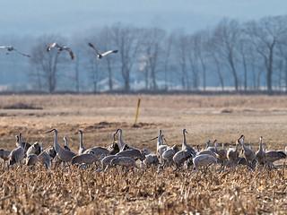 IMGPJ32682_Fk - Jackson County Indiana - Migratory Birds - Ewing Bottoms - Sandhill Cranes