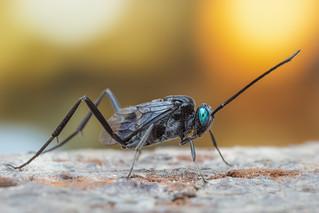 Evania appendigaster (Ensign Wasp)