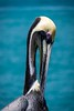 Strike a pose (FotoFloridian) Tags: bird pelican wildlife animal nature beak sea animalsinthewild feather outdoors water tropicalclimate blue white brownpelican beautyinnature ocean florida sony alpha a6000