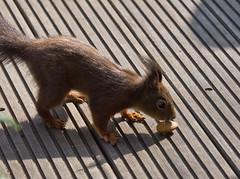 Die nehm' ich mit! / I'll take that with me! (schreibtnix on 'n off) Tags: deutschland germany bergischgladbach tiere animals eichhörnchen squirrel sciurusvulgaris mandel almond nahaufnahme closeup olympuse5 schreibtnix