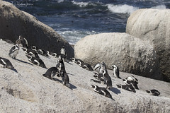 African Penguins at Boulders Beach (Gabriel Paladino Photography) Tags: colony colonia portrait retrato spheniscus demersus penguin pinguinodeelcabo pinguinoafricano pinguinodeanteojos africanpenguin jackasspenguin blackfootedpenguin pinguino scientific classification animalia chordata aves sphenisciformes spheniscidae bouldersbeach falsebay simonstown southafrica fauna wild wildlife free nature natural naturaleza reserve protected canon sigma 150600 contemporary eos 77d africa birding birdwatching salvaje animal pájaro roca