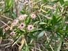 "2018.03.03 - ""mule fat"" (staminate) (JBYoder) Tags: angiosperm asteraceae baccharis baccharissalicifolia california dicot flora malibu mulefat leocarillostatepark"