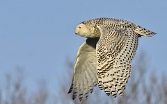 Snowy Fly-by (hd.niel) Tags: snowyowl owls inflight nature wildlife photography ontario