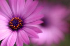 flowers (bnbalance) Tags: nature blossom blur dof colours garden fleur bright