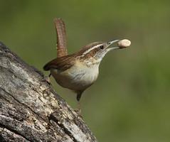 Carolina Wren (AllHarts) Tags: carolinawren backyardbirds memphistn challengeclubchampions coth coth5 naturescarousel ngc npc
