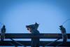 High Voltage Owl v2-4837 (alankrakauer) Tags: owl urbanwildlife urbanbirds urbannature dusk nocturnal