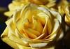 DSC_9020 (PeaTJay) Tags: nikond750 sigma reading lowerearley berkshire macro micro closeups gardens indoors nature flora fauna plants flowers bouquet rose roses rosebuds