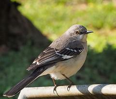 Northern Mockingbird ( Mimus polyglottos) (MJRodock) Tags: 40150mmf28 telephoto olympus mimic gray spring songbird mockingbird bird