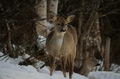 rolig........ (KvikneFoto) Tags: rådyr roedeer vinter winter snø snow natur norge nikon hedmark kvikne tamron bokeh
