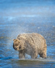 Brown Bear Shakes it Off (Glatz Nature Photography) Tags: brownbear coastalbrownbear grizzlybear grizzly ursusarctos alaska lakeclarknationalpark silversalmoncreek usnationalparks northamerica usa wildlife wildanimal wildbear salmonrun predator splash shake water animal mammal