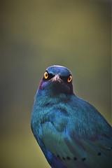 Glossy Starling stare (Rudi Verspoor) Tags: bird staring watching livingdinosaur blue colour fantastic starling animal wild nature bokeh looking birdwatching nikon telephoto 55300