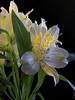 Peruvian Lily (Alstroemeria aurea) (Alzheimer1) Tags: wien österreich at