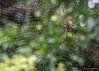 Golden orb weaver in the rain (NettyA) Tags: australia brisbane goldenorbspider qld queensland garden goldenorbweaver rain spider spiderweb nephila arachnida nephilaplumipes