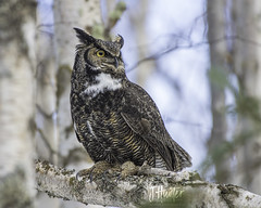 Great Horned Owl (J.Hunter Photography) Tags: greathornedowl hoot hooter birdofprey alaska nature naturephotography wildlifephotography birdphotography ngc