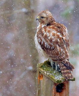 Red-Shouldered-Hawk-48w