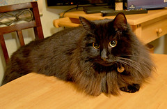 In anticipation of dinner (Caulker) Tags: cat vaska eyes kitchen table