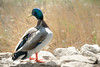 Pato en el Parque de Cabecera (VIERAFILMS) Tags: alexis viera vierafilms pato duck muro animal parque cabecera valencia españa spain fauna films