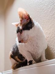_P1011774_cut (daniel kuhne) Tags: cats katzen cornishrex stubentiger mft epl3