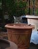 Camille with planters (rootcrop54) Tags: camille female tabby striped cat terracotta planter planters neko macska kedi 猫 kočka kissa γάτα köttur kucing gatto 고양이 kaķis katė katt katze katzen kot кошка mačka gatos maček kitteh chat ネコ