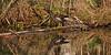 Poule-d'eau (studio SW) Tags: nature oiseau sauvage wild bird etang