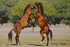 Let the dancing begin (littlebiddle) Tags: wildhorses horses equine animals mammal