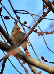 Red beak & buds (mpalmer934) Tags: cardinal maple tree branches buds red blue brown