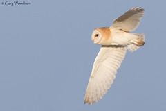 Barn Owl - Newton Point, Northumberland (Gary Woodburn) Tags: barn owl newton point northumberland canon 7d mk2 mkii 300mm f4