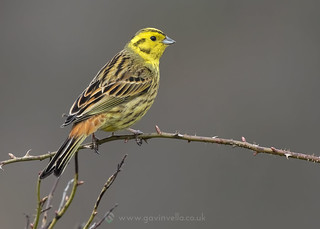 Yellowhammer Perched 2nd April