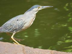 Socozinho (fabioluizps) Tags: aves pássaros ribeirão preto sp parque curupira socozinho butorides striata
