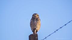 Observando (Alexandro da Silva) Tags: coruja owl voo fly foto image imagem fotografia sony alpha a57 sonyflickrawardgold
