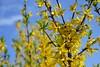 Sunny mood (Zsofia Nagy) Tags: flickrlounge weeklytheme rainbow yellow flower flowers fleur virág kert garden sárga colors color colourful színek spring tavasz forsythia sky bright