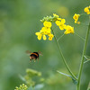 Bee-ing Buzzy (microwyred) Tags: landscape yellow landscapes oilseedrape bee nature insect flower pollination plant pollen summer springtime blossom petal closeup macro honey honeybee animal greencolor outdoors beautyinnature