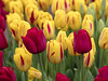 Mixup (Synapped) Tags: red yellow tulip wooden shoe woodburn farm oregon flower spring