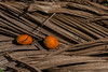 Plantation d'aréquiers, Mettupalayam, Tamil Nadu, Inde (Pascale Jaquet & Olivier Noaillon) Tags: plantationdaréquiers végétation paysage noixdarec détail mettupalayam tamilnadu inde ind