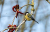 Don't we love Spring?! (Marc Haegeman Photography) Tags: birds vogels nikond750 nikonphotography nikon200500mmf56evr marchaegemanphotography birdphotography animal outdoor tree sky bird vogel koolmees greattit biesbosch netherlands nederland parusmajor passerinebird