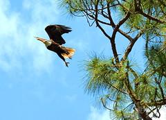 Eagle Take off (npbiffar) Tags: sky tree bird eagle bald npbiffar nature action 70300mm d7100 nikon