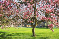 The magnificent magnolia tree (jackfre 2) Tags: belgium antwerp mortsel castle domain magnolia magnoliatree flowers spring