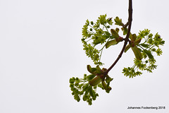 Kraft der Natur (grafenhans) Tags: sony alpha 68 alpha68 a68 slt tamron 4056 70300 frühling knospe frühjahr pflanze grafenwald bottrop nrw