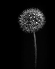 Dandelion Fine Art (Nathan Godwin) Tags: macro macrophotography nikon nikonphotography studio flash flower dandelion close closeup detail single simple simplistic art fine fineart beauty blackandwhite bw