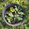 oklawaha pollinator planting 042118-18 (NCAplins) Tags: hendersonville northcarolina unitedstates us