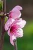 pink (inma F) Tags: arbol colores flor macro paisaje paraguayo primavera rosa peachtree saturnpeach peachflower tree spring