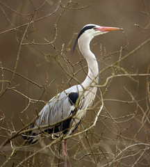 Heron in the trees by Ogston