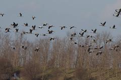 Common Crane (Ben Locke.) Tags: crane bird birds wild wildlife nature germany brandenburg