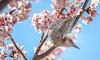 Looking Back Beauty (sapphire_rouge) Tags: garden 東京 桜 brownearedbulbul 府中 ヒヨドリ 花見 cherry 郷土の森公園 japan ngc fuchu sakura spring hanami cherryblossom 春 bird