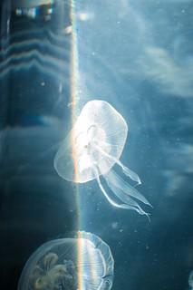 Medusa con un arcoíris producido por la refracción de la luz. Capturada en el recorrido por el Oceanogràfic Valencia. Octubre 2017.