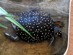 Spotted Turtle, Clemmys guttata (1) (Herman Giethoorn) Tags: spottedturtle reptile turtle