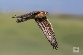 Montagu's Harrier ad female_w_024028