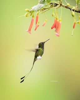 White-booted racket-tail, a marvelous hummingbird species photographed on the Andean cordillera of Ecuador. Photographed using natural light and a very slow shutter speed to accentuate the wing movement. #colibri #hummingbird #ecuador #sanjorgelodge