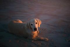 Kiara 12th Birthday Anniversary Album! (Alicja Zmysłowska) Tags: green dog dogs golden retriever goldenretriever pet photographer