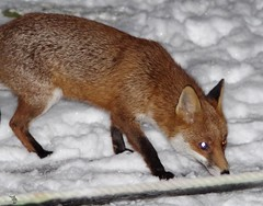 Urban wild red fox in the snow  (3) (Simon Dell Photography) Tags: minibeastfromtheeast itvweather bbcwthrwatchers bbcweather jessopsmoment bbccountryfile bbcspringwatch sheffieldstar harrisoncameras wildlifemag sheffieldparknt wildsheffield parkssheffield urban red fox 3am this morning here sheffield vulpes snow garden city night time low light pentax dslr k50 samples sigma 150500mm lens stunning nature wildlife animal keep ban hunting for food